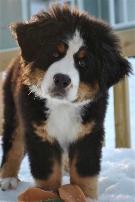 Burmese Mountain Dog puppy.