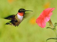 Attract hummingbirds to your yard with these plants and this recipe for how to make hummingbird food from HGTV Gardens.