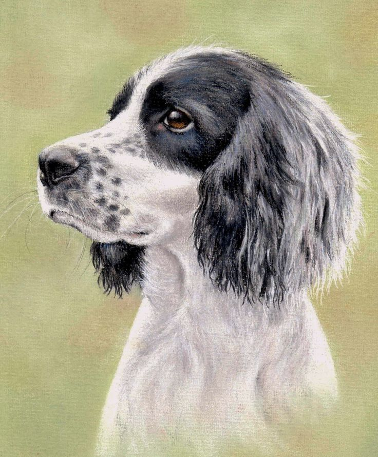 How To Draw a Spaniel using Pastel Pencils: http://www.colinbradleyart.co.uk/home/sign-up/