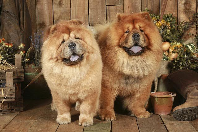 The Chow Chow is an ancient Chinese dog breed known for its lion or bear-like appearance. Get Chow Chow dog breed information, from personality to history.