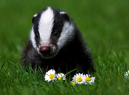 Baby Badger...save these little guys sign the petition ...