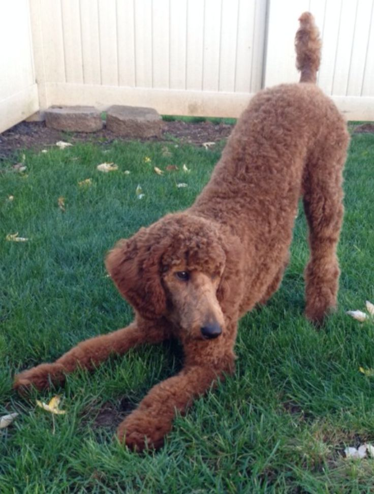 poodle essay Poodle puppies we currently have 1 poodle puppy available for sale chanel purebred teacup poodle very dark chocolate and white parti female with a liver nose she will be far too small to be bred registration papers/breeding rights will not be offered reserved cocoa.