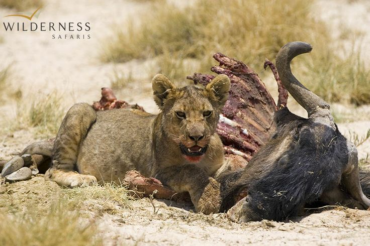 Little Ongava: The 30 000ha (74 129-acre) private Ongava Game Reserve is found on the southern boundary of Etosha National Park, which is Namibia's premier wildlife destination that provides an abundance of game viewing regardless of season.   #Africa #Safari #Namibia