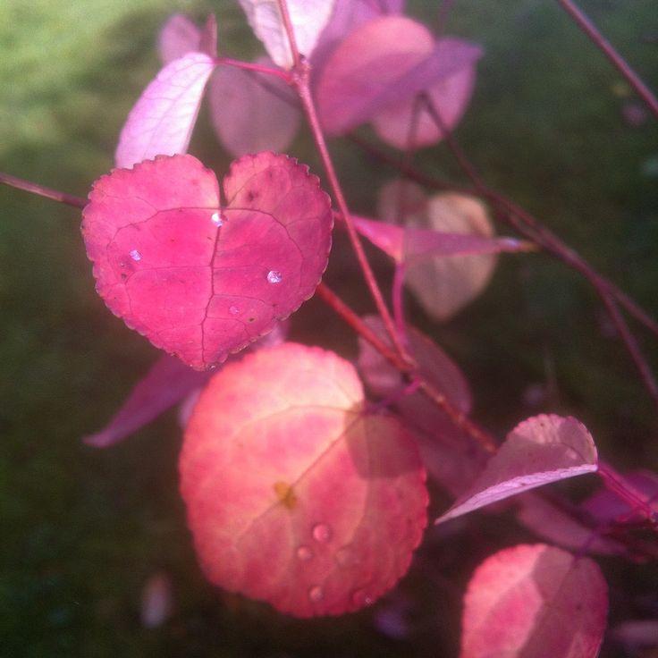 Hjertetræ - Cercidiphyllum. My garden.