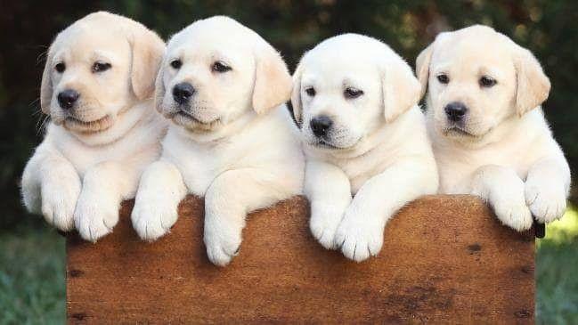 Labrador Puppies Labrador Retriever Labrador Labrador Dog