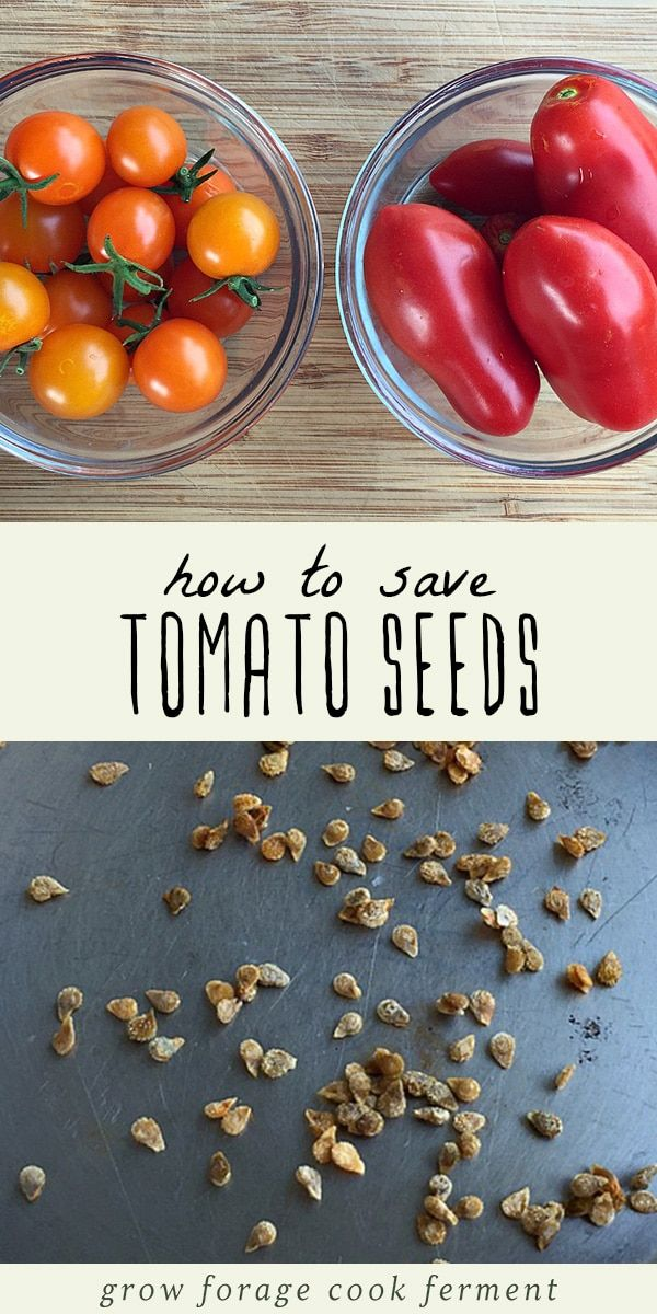 How To Save Tomato Seeds By Fermenting Tomato Seeds Saving Tomato Seeds Saving Seeds From Vegetables