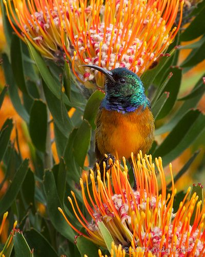 Orangebreasted sunbird - Nectarina violacea. Male: head and mantle iridescent green, breast bright orange, bordered above by violet, belly yellow, wings and tails dusky. Area found: Cape Fynbos (South Africa) Winter rainfall area. Nectar feeder.