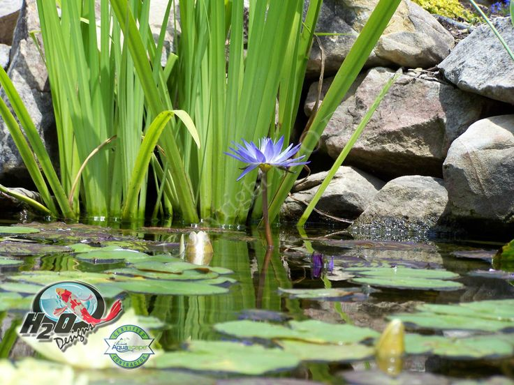 1000 images about pond fish pond life photos on for Plants that live in a pond