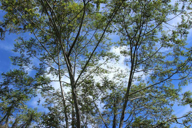 Rindang nya Pohon ku @ Tabiang Takuruang