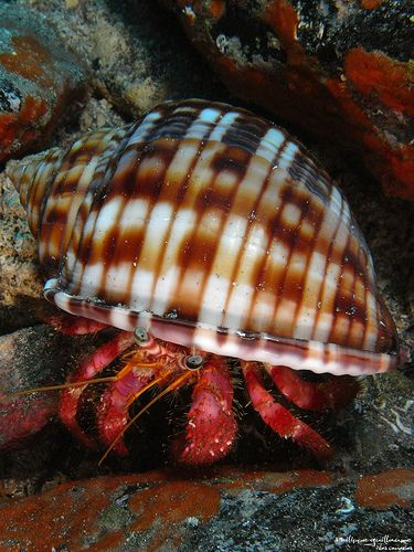 At night, if you bring a flashlight along the beach you may find a hermit crab!
