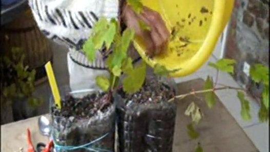 La multiplication végétative d'un pied de vigne dans un système « Petit Jardin des Écoliers ».