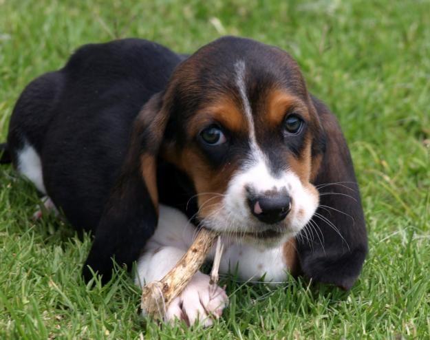 cute Basset Hound Puppies Pictures