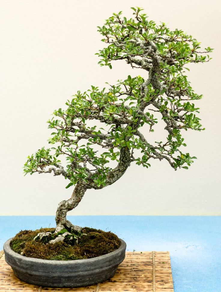 zierquitte chaenomeles als bonsai baum bonsai b ume. Black Bedroom Furniture Sets. Home Design Ideas