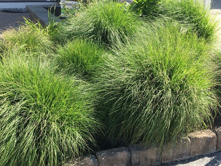 447 best images about front yard designs on pinterest for Ornamental grasses with plumes