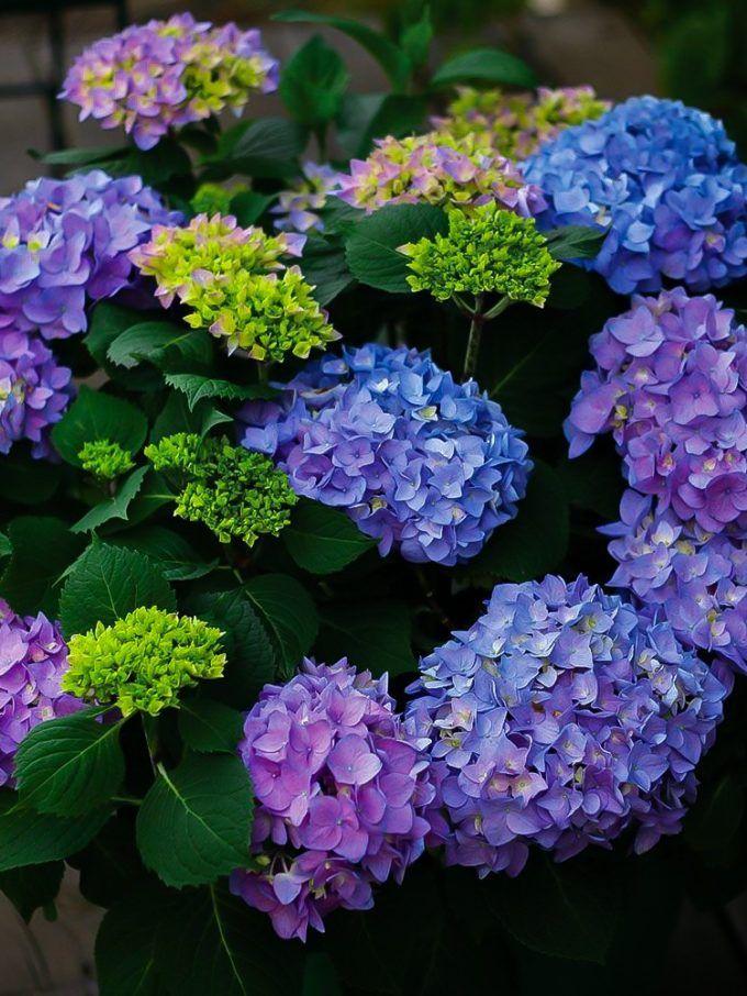 Let S Dance Rhythmic Blue Hydrangea In 2020 Hydrangeas For Sale Blue Hydrangea Foundation Planting