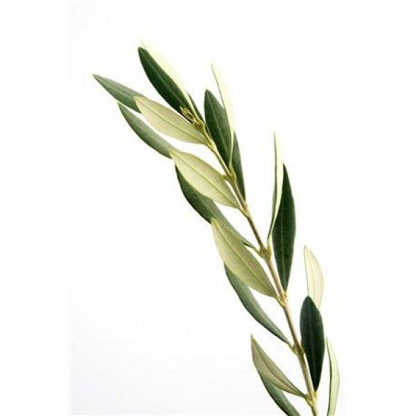 1 Kg. Zeytin Yaprağı Toz Ekstresi,Olea Europea,Olive Leaf Extrac - Doğal Tedavi - İbrahim Gökçek - Alternatif Tıp - Bitkisel Ürünler - İksir - Alovera - Bitkisel Sağlık Ürünleri - Şifalı Bitkiler - Bitkisel Setler - Bitkisel İlaçlar - Herbalist İlaç Değil Bitkisel Gıda Takviyesidir. www.alternatiftip.com.tr