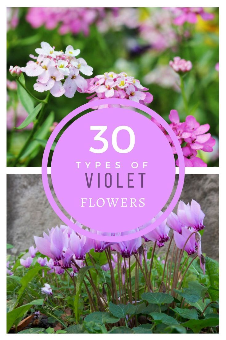 30 popular types of blue violet flowers for your garden a to z 30 popular types of blue violet flowers for your garden a to z garden trellis flowers pinterest violets flowers and gardens izmirmasajfo