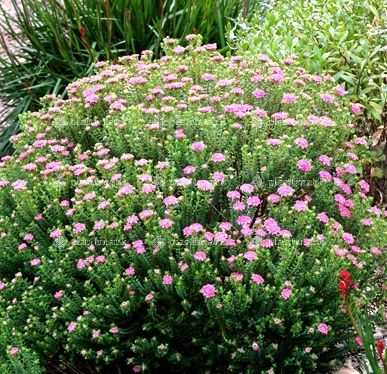 Pimelea Pink Solitaire