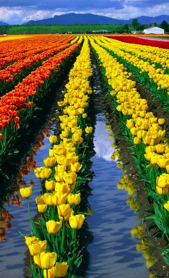 Skagit Valley tulip fields in Mount Vernon, Washington