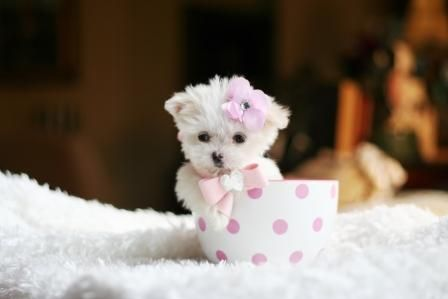 Teacup Maltese... Please David??