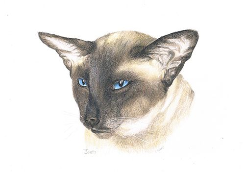 Magnificent Siamese owned by NZ Breeder