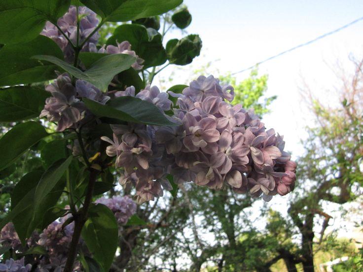 Сирень пользуется заслуженной любовью и популярностью уже многие-многие лета. Она растёт в садах, начиная с XVI века. И нашему сознанию уже трудно представить себе сад без сиреневого цветения.