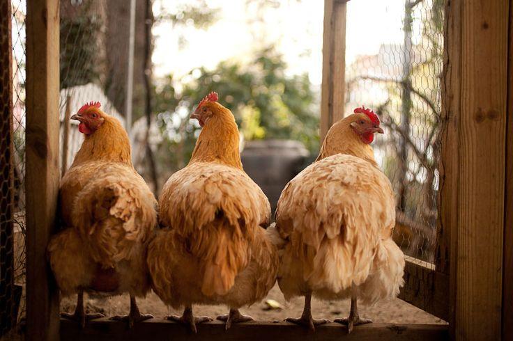 Прикольная картинка куриц, суббота прикольные открытки