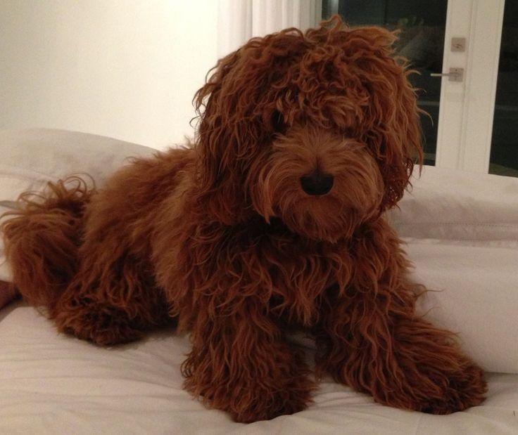 Teddy Bear Goldendoodles | teddy.jpg