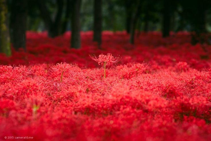 巾着田/巾着田曼珠沙華公園 - 埼玉県日高市高麗の撮影スポット   かめらとブログ
