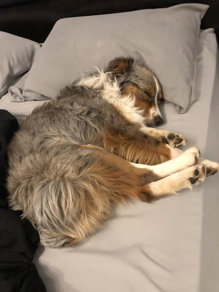 Miniature Aussie thinks hes a person http://ift.tt/2BMTnwh