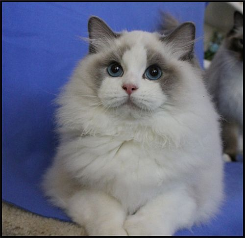709 best ragdoll cats images on Pinterest Kitty cats Ragdoll