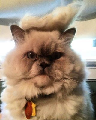 And the cats are definitely not pleased with their toupees. | A Casual Reminder That There's An Instagram Account Of Cats With Trump Toupees