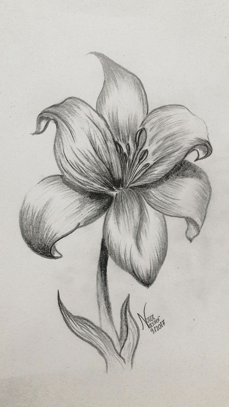 Pencil drawing Lily Lilies drawing, Nature sketches