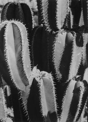 Manuel Alvarez Bravo - Organ Pipe Cacti,1929-1930