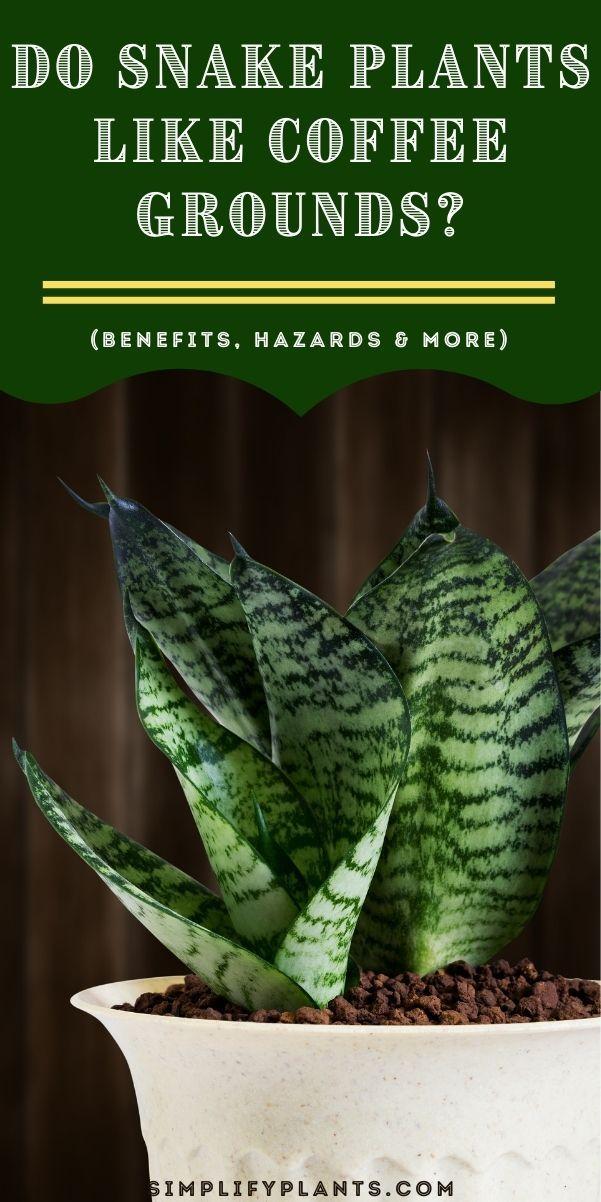 Do Snake Plants Like Coffee Grounds Benefits Hazards More In 2021 Snake Plant Snake Plant Care Coffee Grounds