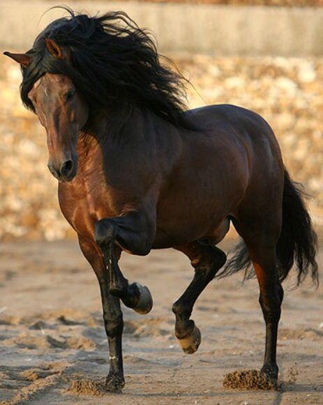 bay andalusian horse
