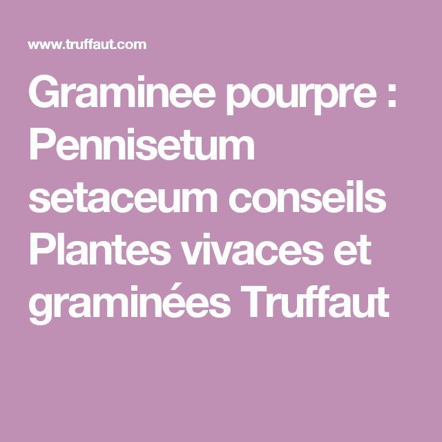 Graminee pourpre : Pennisetum setaceum      conseils Plantes vivaces et graminées Truffaut