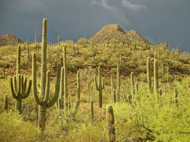 The Saguaro Cactus (Carnegiea gigantea) is one of the defining plants of the Sonoran Desert. These plants are large, tree-like columnar cacti that...
