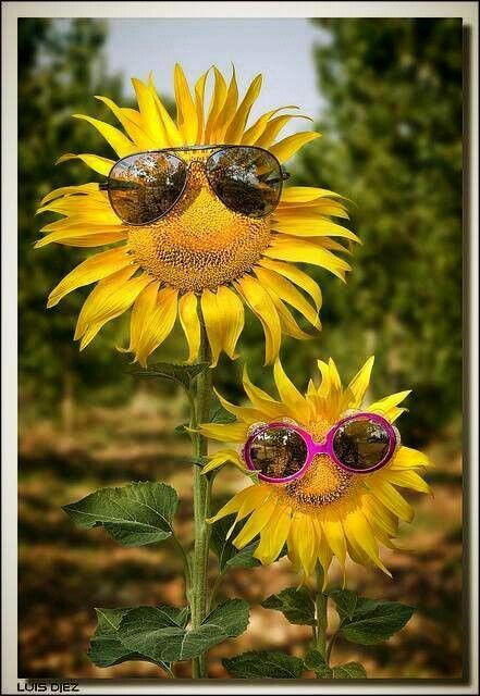 Sunflowers big and beautiful: Bees, Happy, Design Handbags, Sunflowers, Sun Flower, Funny, Sunny Day, Smile, Mornings Sunshine