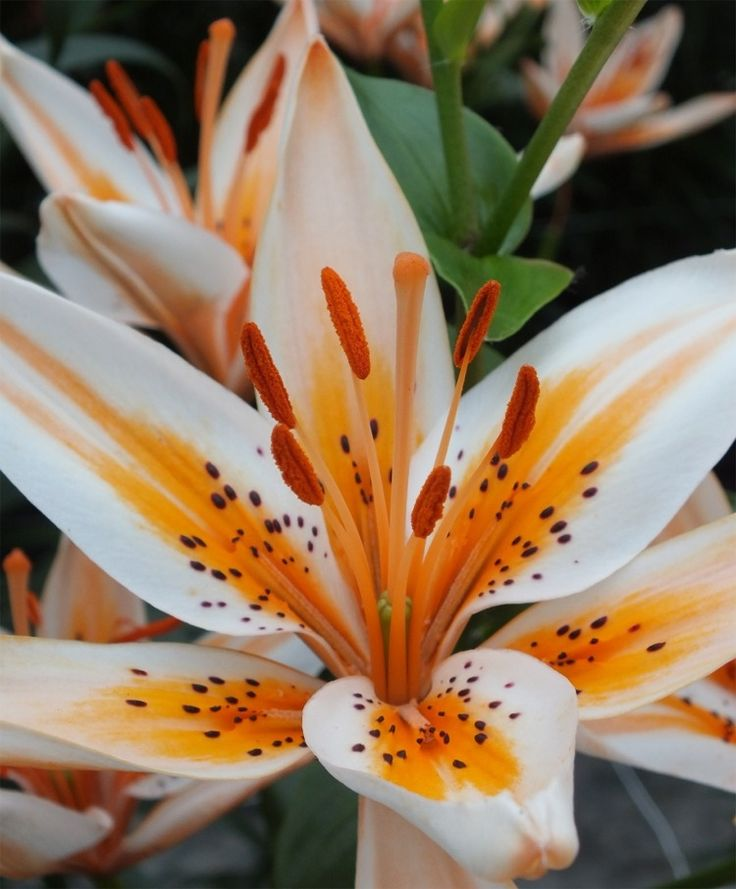 top  best asiatic lilies ideas on   lilies, lilies, Beautiful flower