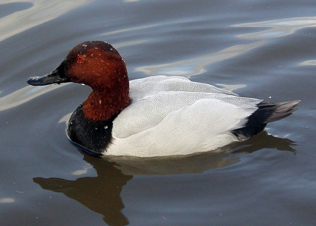 I have a breeder pair of 2010 hatch Canvasback duck for sale. They are un-related and in good condition    Key; pheasants, pheasant, peacocks, quail, goose, pigeons, doves, dogs, birds, fowl, quails, pheasants, eggs, yellow, crested, vulturine, phoenix, blue, scale, albino, pigeon, livestock, rabbit, rabbits, chick, golden, silver, impeyan, tragopan, mandarin, duck, ducks, bantams, Birmingham rollers, black shoulder peafowl, breeders, call ducks, chickens, cranes: Animals, Ducks Goose Swan, Hilltopfarms Birds, Call Ducks, Pheasant, Duck Hunting, Beautiful Birds