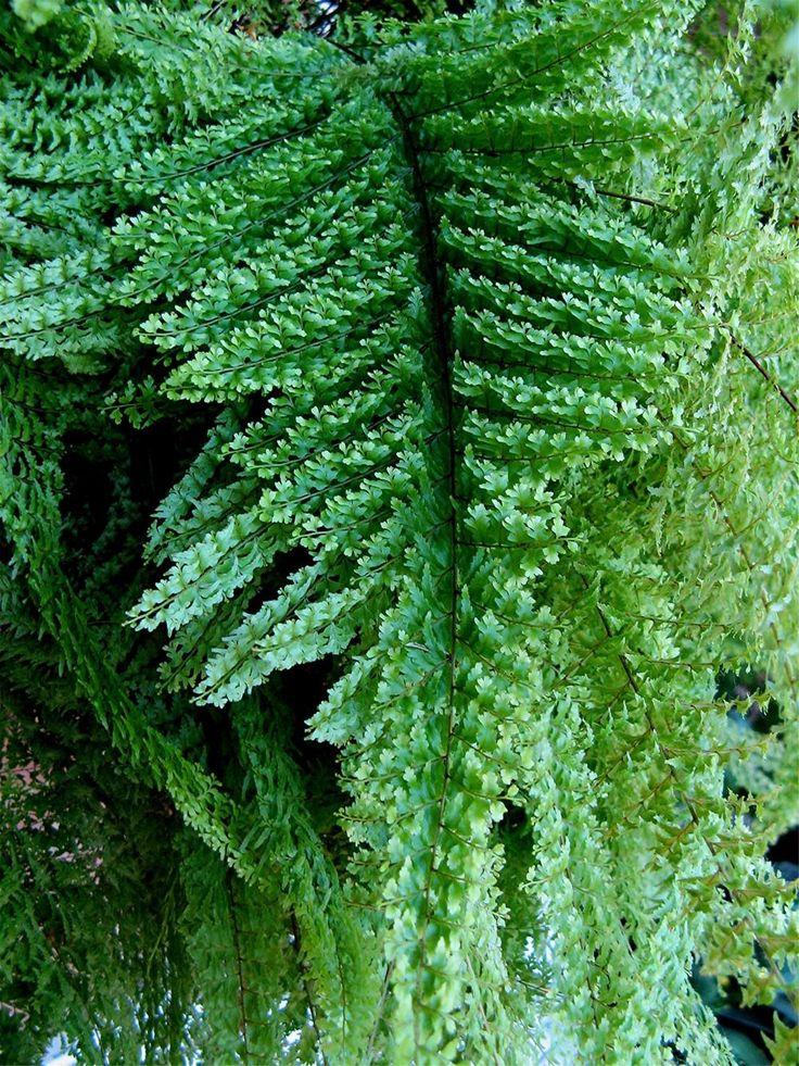 17 best ideas about boston ferns on pinterest ferns - Nephrolepis exaltata ...