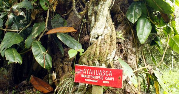 The Ayahuasca plant is used by Amazonian tribes for its physical, spiritual and emotional health benefits, and modern science is starting to prove its efficacy.
