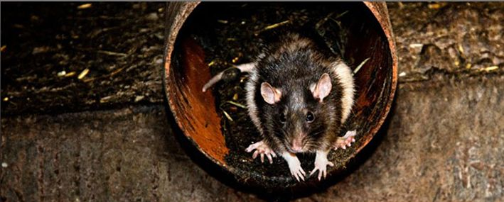 Norway rats are also called sewer rats they are larger then the roof rat their tails are shorter than their body length and their ears are small. The roof rat in Perth has a larger tail and likes to climb.
