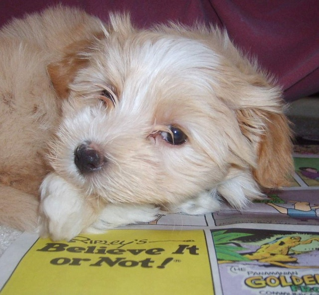 Meet Ginger...our little Morkie puppy when she was only 8 weeks old.Puppies Bath, Puppies Abbey, Morkie Puppies, Puppy'S, Puppies Fever, Daughters Puppies