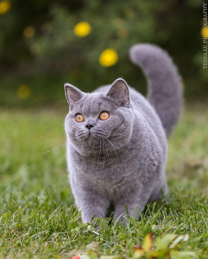 Картинки британских кошек и котят короткошерстных