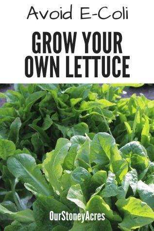 growing your own lettuce backyard vegetable gardening growing rh pinterest com