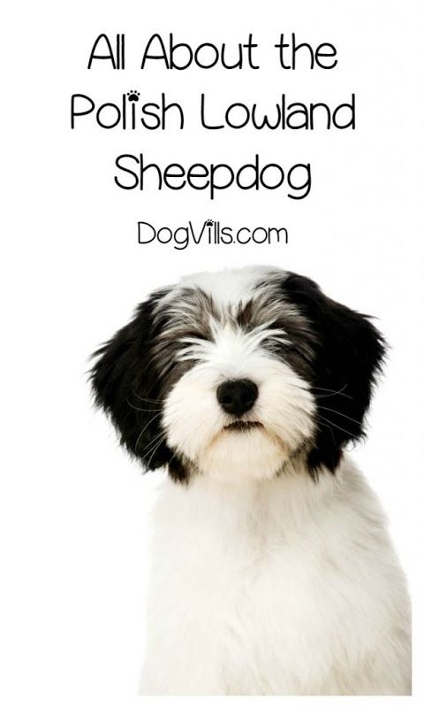 Wondering if the Polish Lowland Sheepdog is a hypoallergenic dog breed? Maybe you're wondering if you've even ever SEEN one of these dogs? Just because you haven't heard of a Polish Lowland Sheepdog …
