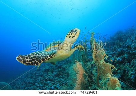 Image result for fan coral turtles