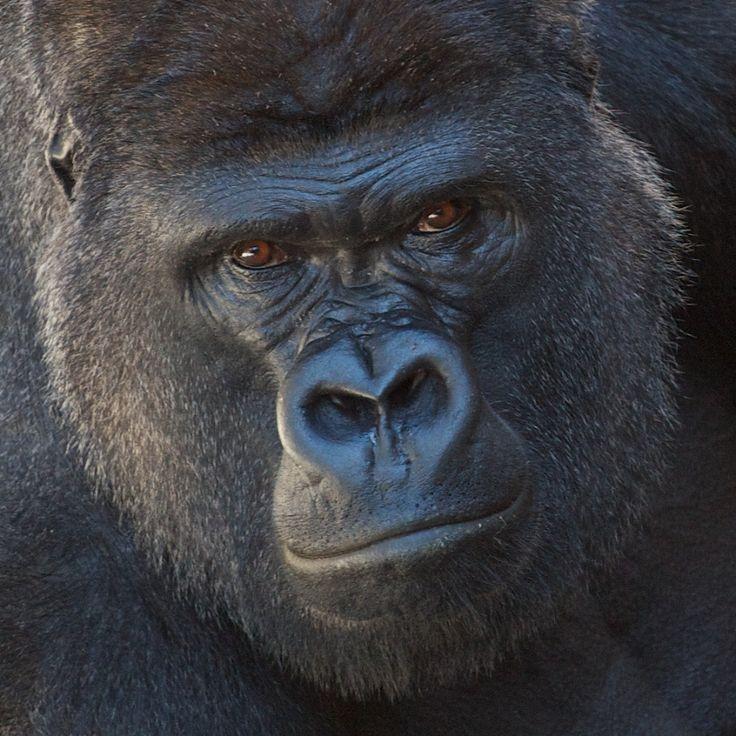 Gorilla Face - Tank